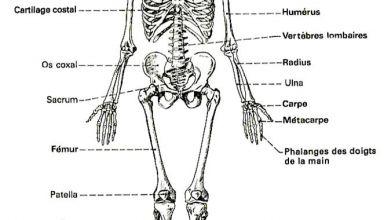 Schéma osseux de l'être humain